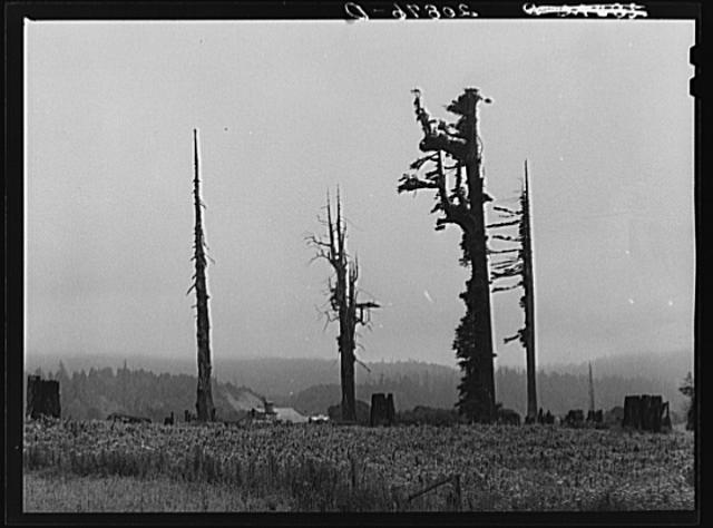 Redwood Trees Pacific Lumber Company Scotia California